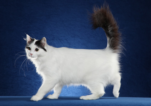 4702356886 Turkish Van Breeders