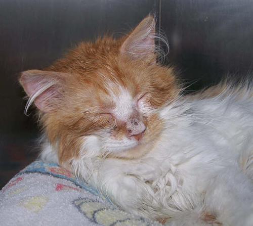 Rocky Mountain Feline Rescue Ringworm cat