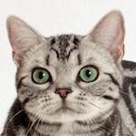 11564939 american shorthair is unofficially jersey cat