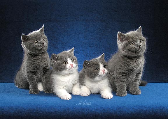 11931798 plush sweet british shorthairs will be at meet the breeds