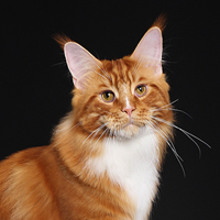 15th Best Cat and Best Maine Coon