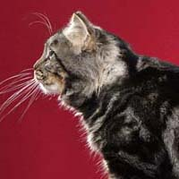 American Bobtail 1 Cat Double Vision Hjerling
