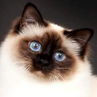 Birman 1 Cat Naomi Collette