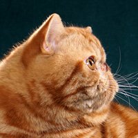 Exotic Shorthair 1 Cat Diablo Chambers