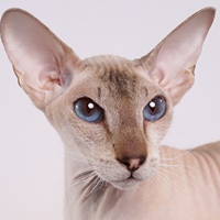 Peterbald 1 Cat Noisettes Shon