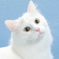 Turkish van 1 Cat Ceylan Lindsey