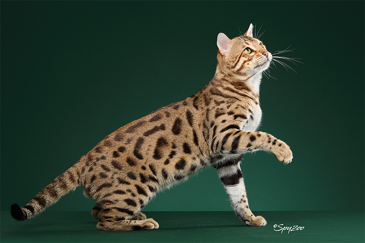 15th Best Shorthair Cat Of The Year: GURU APU ILLAPU OF BOSSBENGALCAT