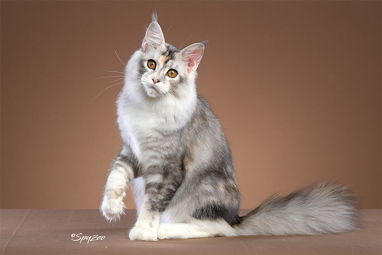 22nd Best Kitten Of The Year: MIRAGECOON SILVER LINING