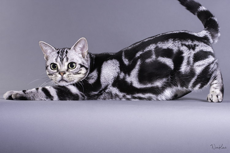 Best American Shorthair Kitten Of The Year: RICHSON AMERICAN NINJA WARRIOR