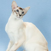 BOB Balinese Cat Kitten Synergy Altair Of Higrove2 THUMB