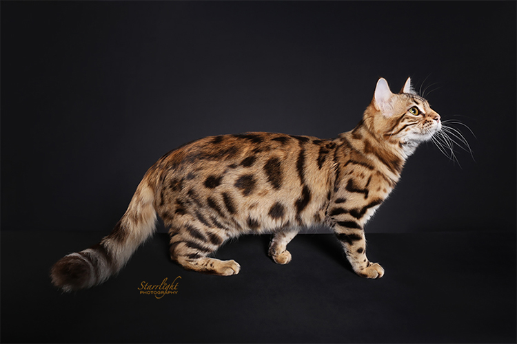 Best Bengal Longhair Of The Year: SIMPLYBLESSED ARTIC SUMMER