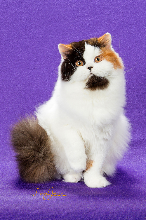 Best British Longhair Kitten Of The Year: HOLLIE ANGELS SHELTER