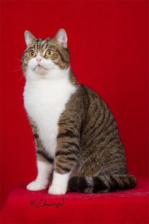Best British Shorthair Alter Of The Year: DIVINEDESIGN LORD CHESTERFIELD