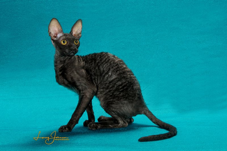 Best Cornish Rex Kitten Of The Year: BARMONT DAISY MAE