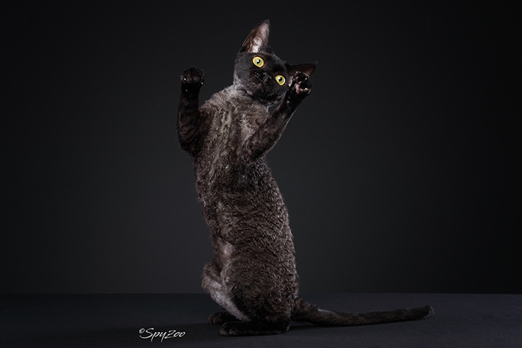 Best Devon Rex Alter Of The Year: TIANTANG ANIUNIU