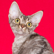 BOB Devon Rex Cat Jobara Princessbride Of Curlydoll THUMB