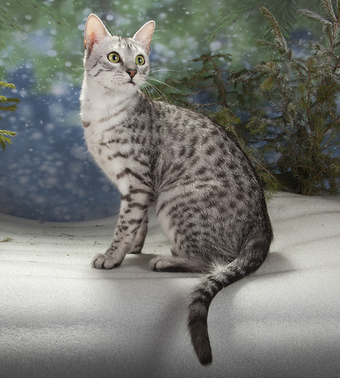 Best Egyptian Mau Alter Of The Year: EGYPTSILA ANUBIS