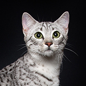 BOB Egyptian Mau Kitten Fatalattraction Isis THUMB