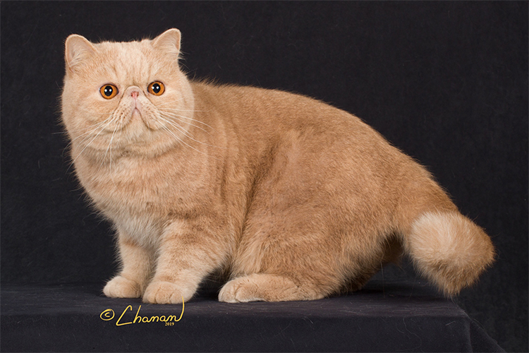 Best Exotic Shorthair Alter Of The Year: PANEI'S DUKE VENOMANIA/CF