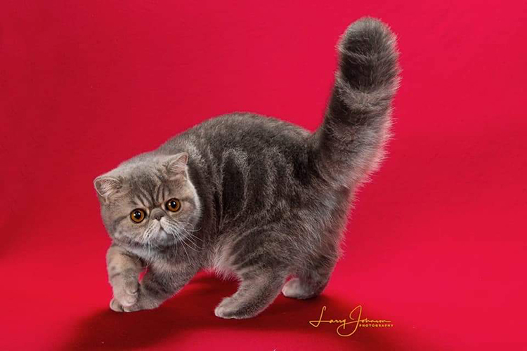 Best Exotic Shorthair Kitten Of The Year: STAROLYMPUS DELICIOSA