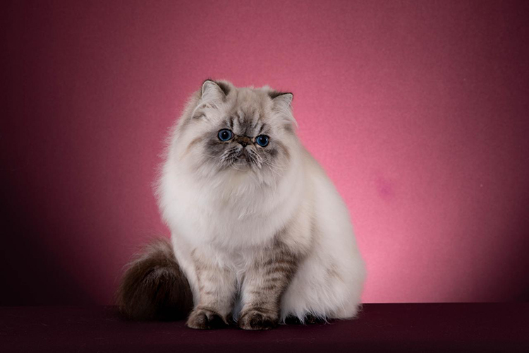 Best Himalayan Kitten Of The Year: MELODY'S OBIWAN/LO