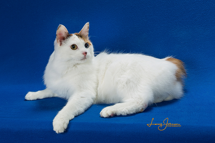 Best Japanese Bobtail Longhair Alter Of The Year: JAKOI LAST CALL