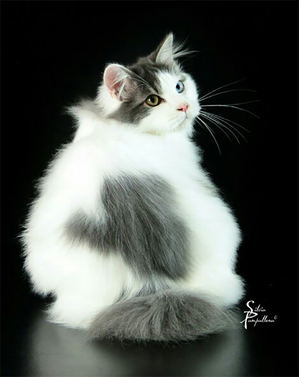 Best Kurilian Bobtail Longhair Of The Year: AMISTI DISPICABLE ME
