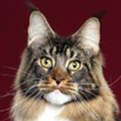 BOB Maine Coon Alter Mtnest Lord Nelson Of Higrove THUMB