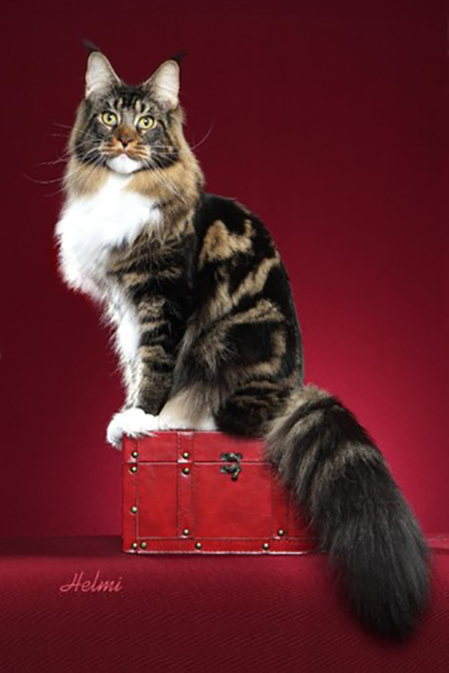 Maine Coon Breeders
