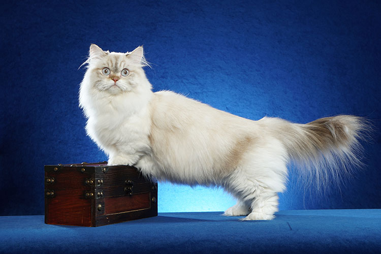 Best Minuet Longhair Alter Of The Year: BLUESKIES CATRICE PURRGERON