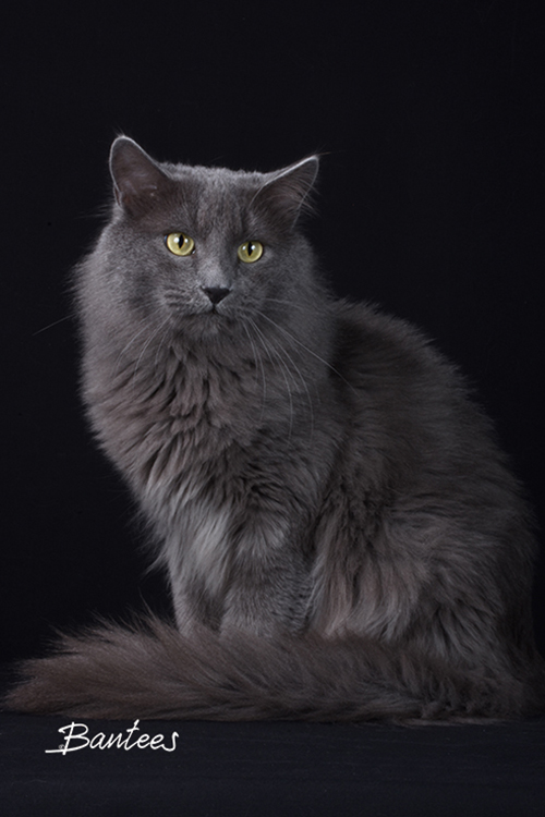 Best Nebelung Of The Year: NIMBATI'S KIMANI/WC