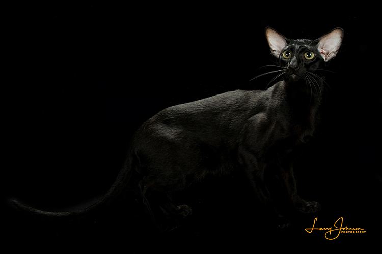 Best Oriental Shorthair Of The Year: MINGHOU JACK O CLUBS
