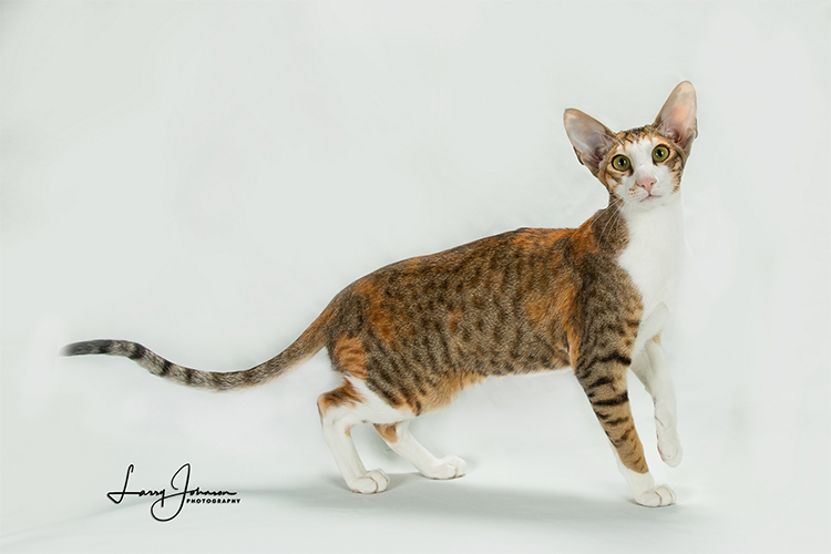 Best Oriental Shorthair Kitten Of The Year: FAERYFIRE'S CHASING RAINBOWS/CF