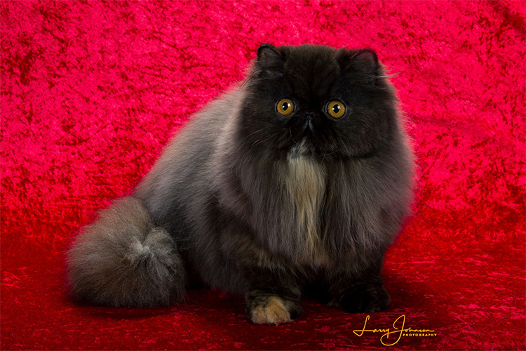 Best Persian Kitten Of The Year: STAROLYMPUS ME ENAMORE OF RIVERBIN