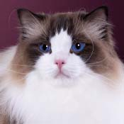 BOB Ragdoll Cat Allweneedis Quality Time THUMB
