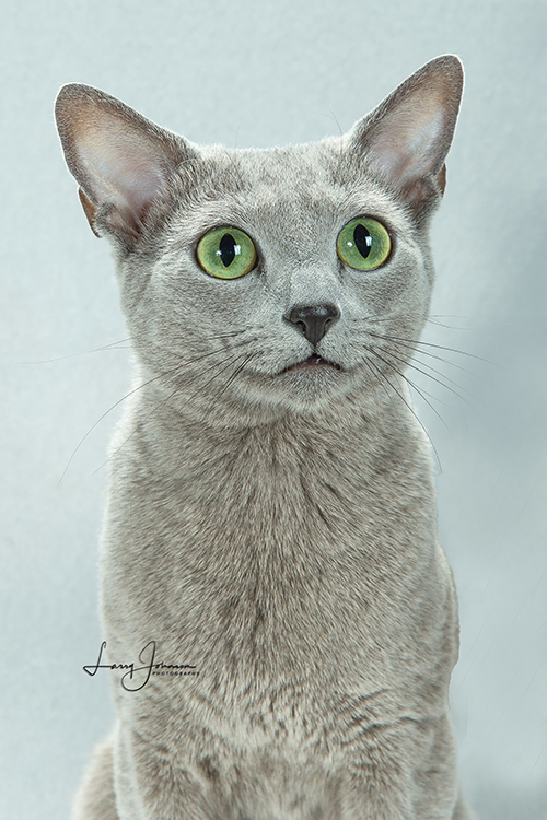 Best Russian Blue Of The Year: EMERALD SNOW MAESTRO ANTIGENE/CF