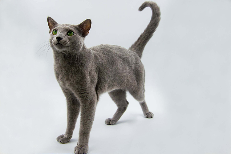 Best Russian Blue Kitten Of The Year: WORLDSTAR GERMAN OF CHRISTIE