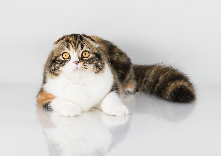 Best Scottish Fold Longhair Kitten Of The Year: MUSE BELLA STELLA