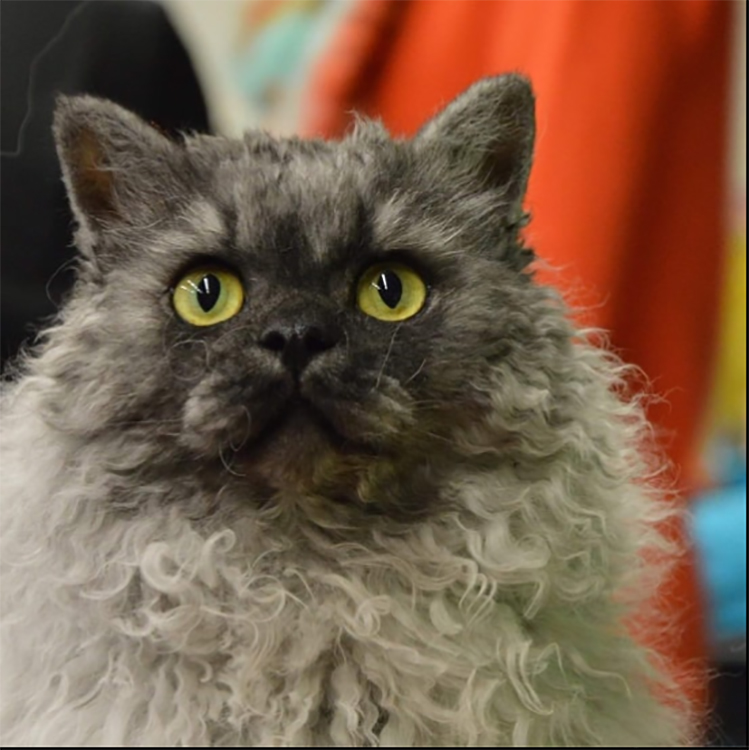 Best Selkirk Rex Longhair Alter Of The Year: BOUCLES BOOGIE WONDERLAND