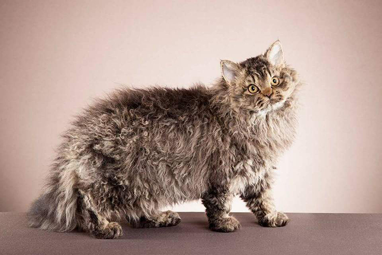 Best Selkirk Rex Longhair Of The Year: BOUCLES MONSIEUR INCROYABLE