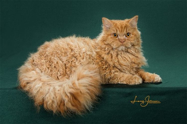 Best Selkirk Rex Longhair Of The Year: KITTI KAT CARROT TOP OF BOUCLES