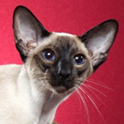 BOB Siamese Kitten Hotzcats Temptation Of Ranchcats THUMB