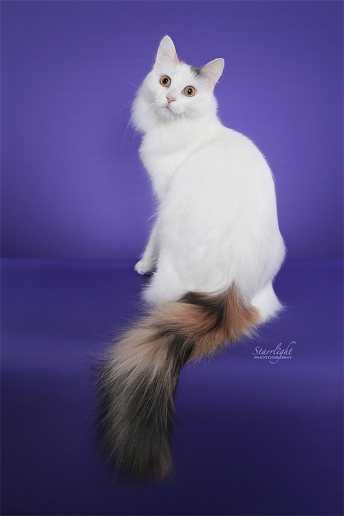 Best Turkish Van Alter Of The Year: HALIMA HONEIGH BEAR HERA