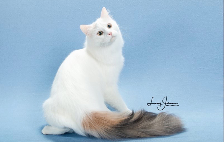 Best Turkish Van Of The Year: HALIMA CEYLAN OF KAYSERAI