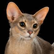 Best Abyssinian Of The Year: ABYSAINT TIBET OF PIERREMONT