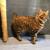 Best American Bobtail Kitten Of The Year: MAGICBOBS SAMSON