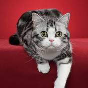 Best American Shorthair Alter Of The Year: MOWGLEAVES LUCKY STRIKE