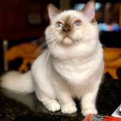 Best Birman Kitten Of The Year: STARGHATTS PRINCE NAMOR OF COMIX