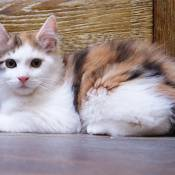 Best Kurilian Bobtail Longhair Kitten Of The Year: BOB-MIGNON NALA OF AMISTI/ID