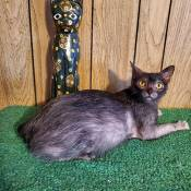 Best Lykoi Kitten Of The Year: CHUPACABRA SHADOW OF ODESSEYCATZ